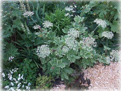 Peucedanum ostruthium `Daphnis´.